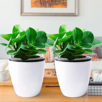 水培土培四季常青盆栽 豆瓣绿+白色龙蛋吸水盆(两套)