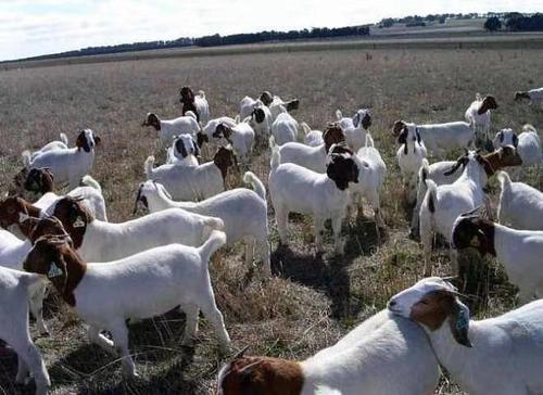波尔山羊纯种小羊母羊公羊小活羊活体养殖成年种公羊