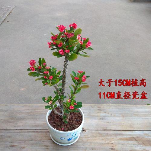 新品种五彩虎刺梅小叶四季开花盆栽老桩铁海棠耐热