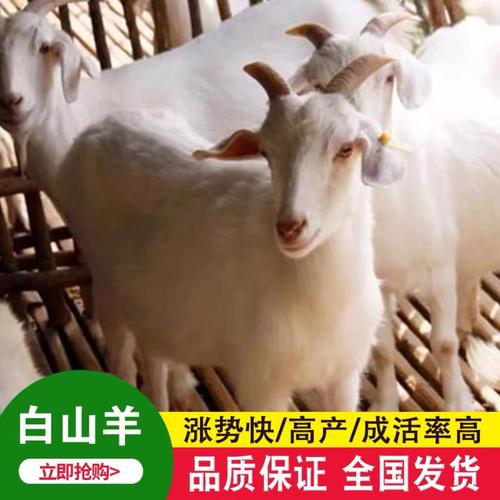波尔山羊活羊羊羔种羊波尔山羊活山羊活苗纯种小羊羔