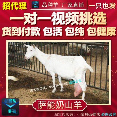 纯种萨能奶山羊活羊小羊羔苗幼崽仔红鹿产奶种公母活体羊养殖技术