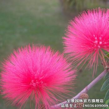 合欢树苗香水合欢苗美洲合欢树苗合欢花苗红绒花马缨花 庭院景观树