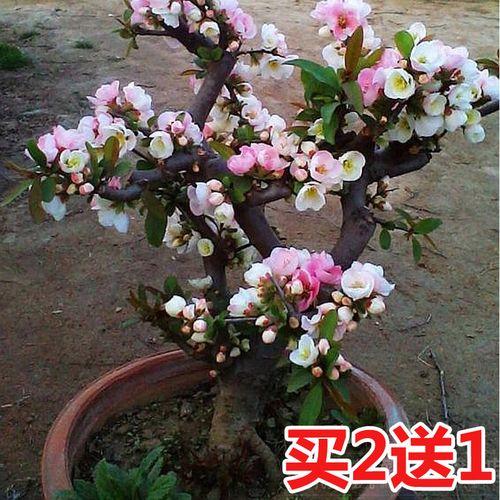 重瓣海棠花树苗盆栽老桩盆景花卉阳台绿植物室内好养
