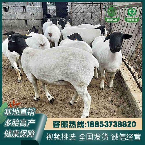 纯种黑头杜泊绵羊活体小羊羔活羊成年杜泊绵羊种公羊