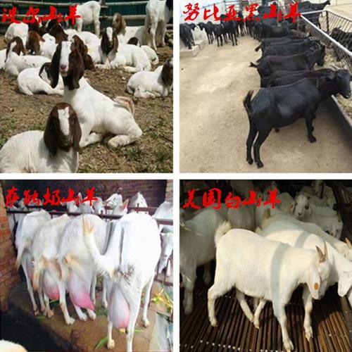 波尔山羊羊崽黑山羊小羊活苗奶山羊纯种活羊白山羊母羊青山羊怀孕
