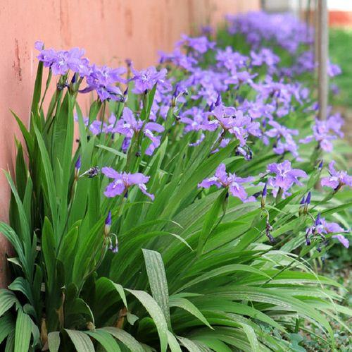 庭院别墅花园植物蓝花鸢尾苗盆栽马兰花苗草本地栽