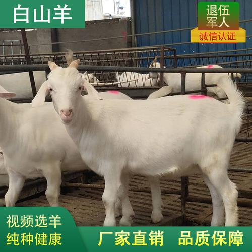 纯种美国白山羊活羊头胎怀孕母羊白山羊活体小羊羔成年白山羊种羊