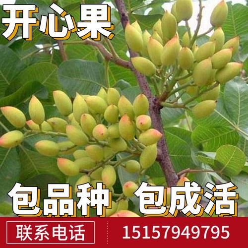 开心果树小苗南北方庭院地栽种植阳台盆栽嫁接当年结果阿月浑子