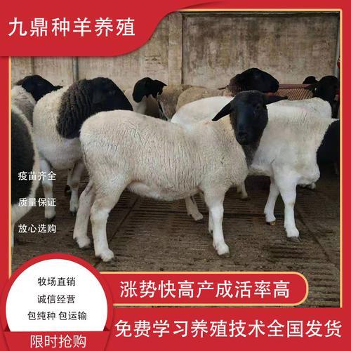 黑头杜泊羊纯种小尾寒羊杜寒杂交羊活羊种公羊怀孕母羊小羊羔活体