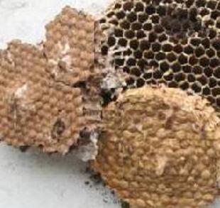 自然野生山蜂房-露蜂房/马蜂窝/胡蜂窝/蜂巢/野蜂窝