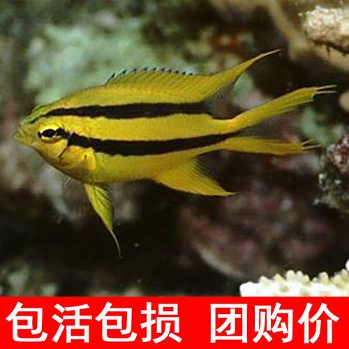 金燕子 雀鲷类海水鱼 黄尾蓝魔青魔黄魔柠檬魔 小丑鱼