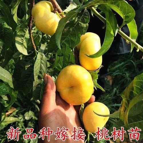 【喜i庆】嫁接新品种桃树苗盆栽地栽黄金桃水密桃南北