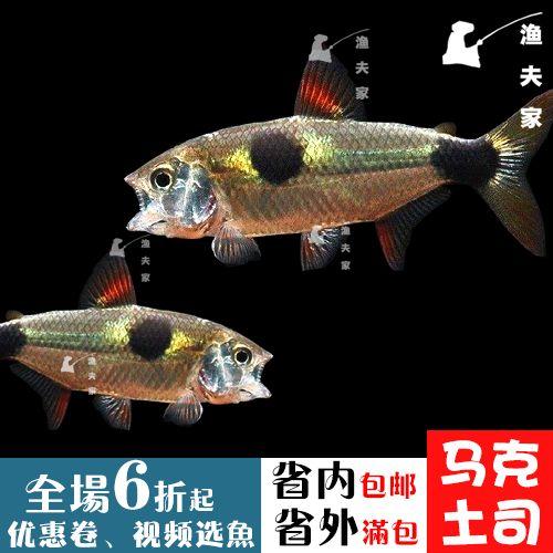 南美热带观赏鱼凶猛群游野生马克土司小型鱼鹿齿鱼活体加拉辛类科