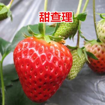 南方四季盆栽草苺苗阳台奶油脱毒白草莓苗爬藤秧带土果树苗 甜楂里10