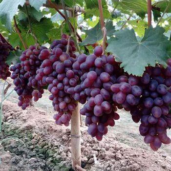 葡萄树苗果树苗夏黑玫瑰地栽盆栽南方北方种植矮化带分叉当年结果 克