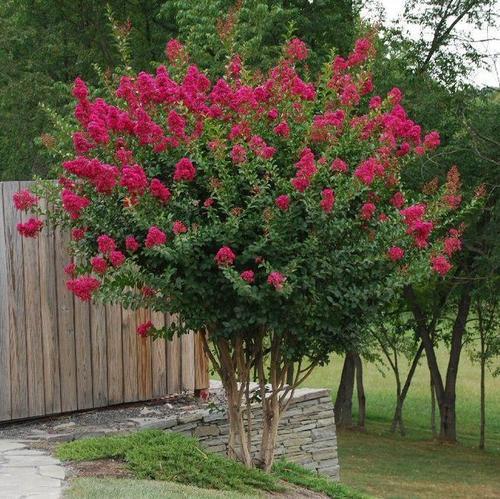 小叶紫薇福建厦门常用绿化景观树落叶乔木小灌木 紫薇