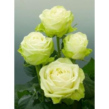 伊芙月季粉伯爵胭脂香水繁华都市花苗实生根嫁接阳台花卉盆栽 浪漫