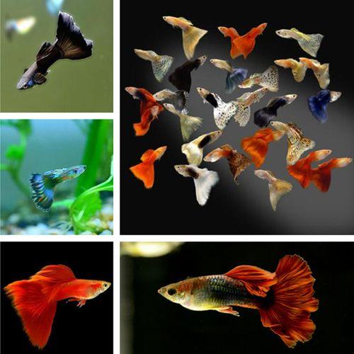 热带观赏鱼金鱼红孔雀花孔雀墨兰孔雀象牙白孔雀黑孔雀鱼2对包邮