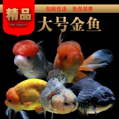 精品金鱼活体兰寿泰狮淡水观赏鱼冷水鱼草金鱼锦鲤宠物鱼金鱼鱼苗